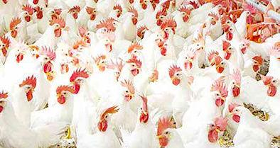 قیمت یک مرغ برابر یک ماه یارانه است