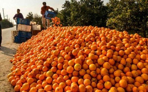 فساد ۳۰هزار تن پرتقال به خاطر تصمیم دولت؟