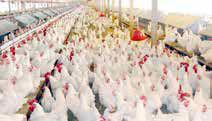 زیان 2 هزار میلیارد تومانی صنعت مرغ گوشتی